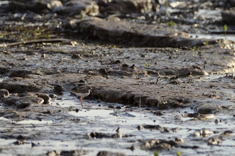 Pluvier de wilsonCharadrius wilsonia