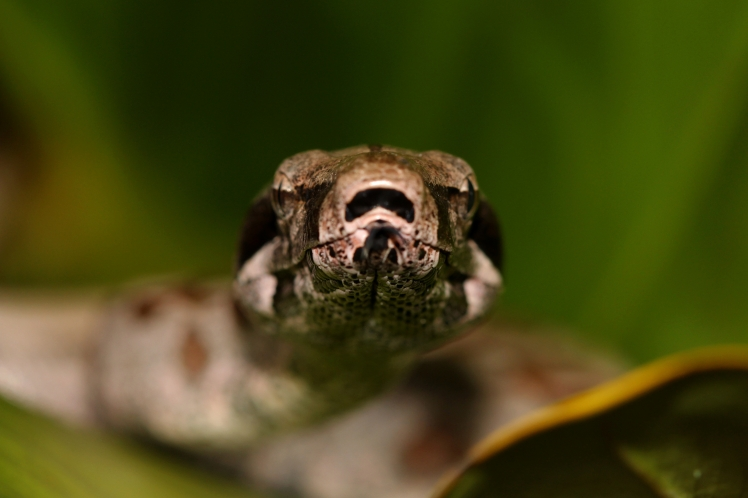 constrictor 01